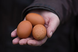 Whidbey Island eggs